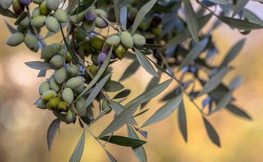 olijven-plukken-griekenland-eliza-was-here-belgie