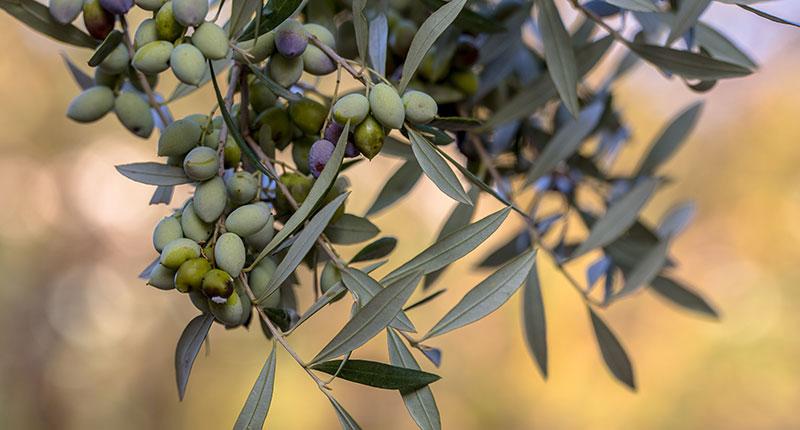 olijven-plukken-griekenland-eliza-was-here