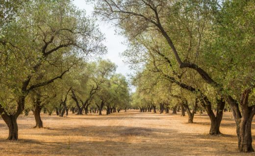 Olijfolie proeven: de gastronomische route van Puglia